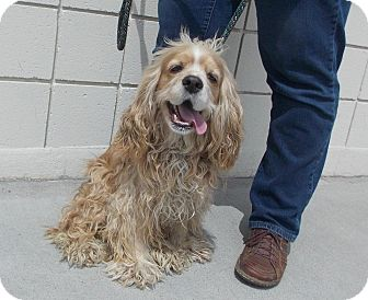 Cocker Spaniel Dog for adoption in Tacoma, Washington - ALEX
