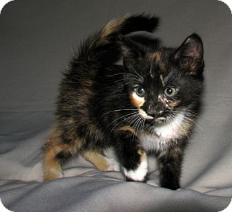 Domestic Shorthair Kitten for adoption in Oxford, New York - Ivy
