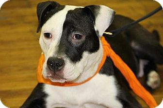 American Pit Bull Terrier Mix Puppy for adoption in Staatsburg, New York - Toby