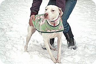 Pit Bull Terrier Mix Dog for adoption in Staatsburg, New York - Bianca *Crosspost*