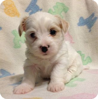 Maltese Mix Puppy for adoption in Bridgeton, Missouri - Schaemus-Adoption pending