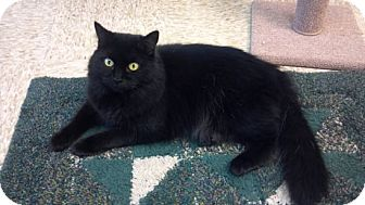 Domestic Longhair Cat for adoption in Pineville, North Carolina - Cupcake