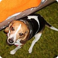 Adopt A Pet :: Scooby - Phoenix, AZ