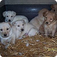 Adopt A Pet :: Litter of 4 - Denver, IN