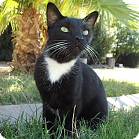 Domestic Shorthair Cat for adoption in Mesa, Arizona - Cowboy