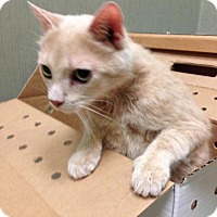 Adopt A Pet :: Creamsicle - Chicago, IL