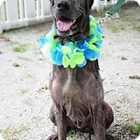 Adopt A Pet :: Bo - Bradenton, FL