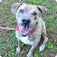 Adopt A Pet :: Brix - Washington, DC