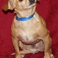 Chihuahua Mix Dog for adoption in Va Beach, Virginia - Austin