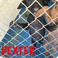 Adopt A Pet :: Dexter - Waycross, GA