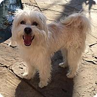 Adopt A Pet :: Bibi - Aurora, CO