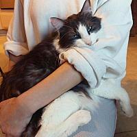 Domestic Mediumhair Cat for adoption in Chino Hills, California - Ozil