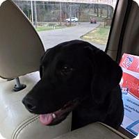 Adopt A Pet :: LEXI - beautiful girl - Stamford, CT