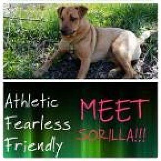 Labrador Retriever/Terrier (Unknown Type, Medium) Mix Dog for adoption in fort wayne, Indiana - Sorillo