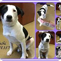 Adopt A Pet :: YOSHI - San Antonio, TX