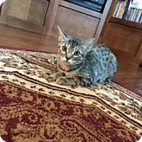 Domestic Shorthair Kitten for adoption in Alamo, California - Ginny