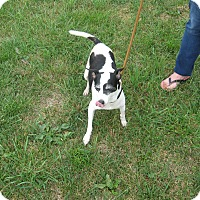 Fox Terrier (Smooth)/Jack Russell Terrier Mix Dog for adoption in Port Clinton, Ohio - MISS DOLLY
