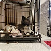 Adopt A Pet :: ROCCO - Gustine, CA