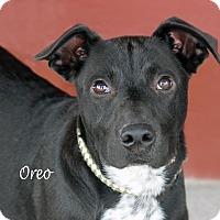 Adopt A Pet :: Oreo - Idaho Falls, ID
