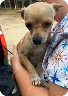 Chihuahua Mix Dog for adoption in Alpharetta, Georgia - Anita