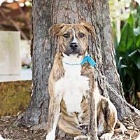 Adopt A Pet :: Dixon - Fayetteville, AR