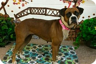 Boxer Dog for adoption in Austin, Texas - Betsy