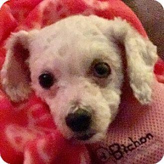 Bichon Frise Mix Dog for adoption in La Costa, California - Marnie