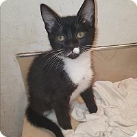 Adopt A Pet :: Stimpy - Tumwater, WA