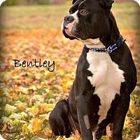 Adopt A Pet :: Bentley - Lincoln, NE