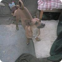 Adopt A Pet :: Scooby Doo - Inverness, FL
