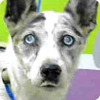 Adopt A Pet :: Kassie - Boulder, CO
