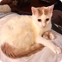 Turkish Van Kitten for adoption in Houston, Texas - Sander