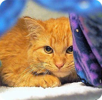 Domestic Mediumhair Cat for adoption in Lincolnton, North Carolina - Spice $20