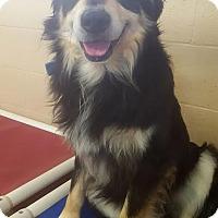 Border Collie/Australian Shepherd Mix Dog for adoption in Yreka, California - Otis