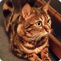 Adopt A Pet :: Gato - Battle Ground, WA