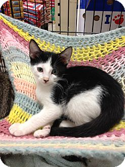 Domestic Shorthair Kitten for adoption in Fort Lauderdale, Florida - Stitch
