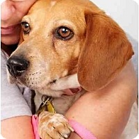 Beagle Mix Dog for adoption in Phoenix, Arizona - Amy Lynn