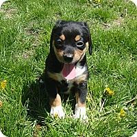 Adopt A Pet :: Ariel - Novi, MI