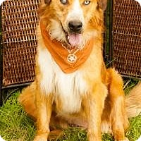 Adopt A Pet :: Chewbarka - Stafford Springs, CT
