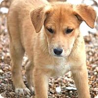 Adopt A Pet :: *Polly - PENDING - Westport, CT