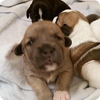 Adopt A Pet :: Ferris - Alpharetta, GA