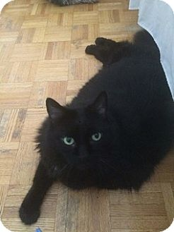 Domestic Longhair Cat for adoption in Brampton, Ontario - Max