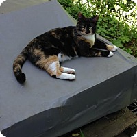 Calico Cat for adoption in Nashville, Tennessee - Georgie