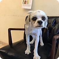 Adopt A Pet :: Oppa - Sudbury, MA