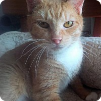 Domestic Shorthair Cat for adoption in NYC, New York - Sundae Lap Cat
