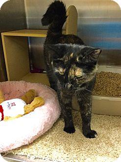 Domestic Shorthair Cat for adoption in Colmar, Pennsylvania - Wednesday-Adoption Pending!