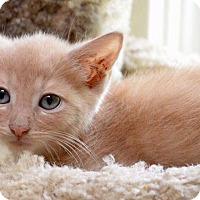 Domestic Longhair Kitten for adoption in Middletown, Ohio - Caputo
