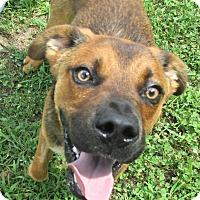 Shepherd (Unknown Type)/Terrier (Unknown Type, Medium) Mix Dog for adoption in Reeds Spring, Missouri - Weave