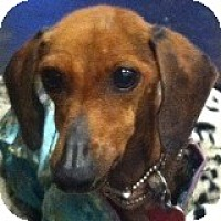 Dachshund Dog for adoption in Houston, Texas - Winter Berry