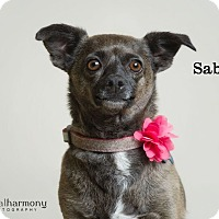 Adopt A Pet :: Sable - Chandler, AZ